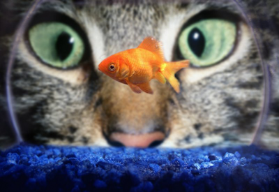 20090301093041-cat-eyes-and-goldfish.png